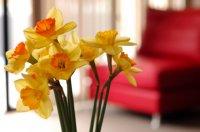 daffodils-loungechair