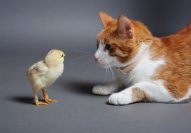 chickenandcat