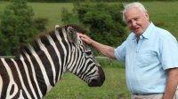 sir_david_a__zebra