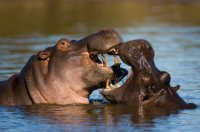 thick_skinned_hippos