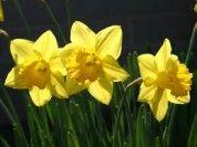 3_daffodils