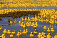 rubber_ducks