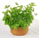 potted_mint