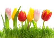 spring-tulips-lowres