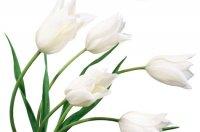 white-tulips2