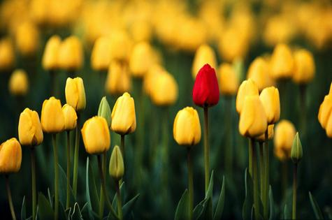 perfect-tulips