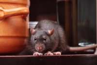 Why-pests-are-taking-over-your-home
